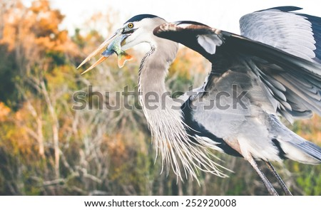 Great Blue Heron Feeding on a sun fish - stock photo