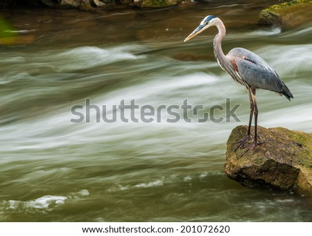 Great Blue Heron fishing for food in a creek with waterfall. - stock photo