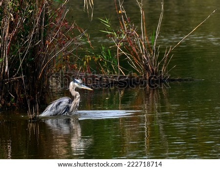 Great Blue Heron fishing in a Chesapeake Bay pond - stock photo