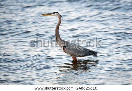 Great Blue Heron fishing in the Chesapeake Bay in Maryland - stock photo