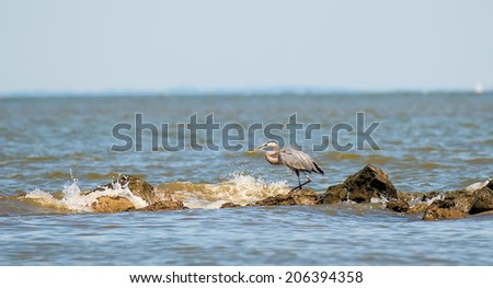 Great Blue Heron fishing on the Chesapeake Bay in Maryland - stock photo