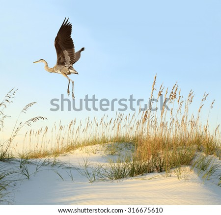 Great Blue Heron Flies Over the Sea Oat Covered Sand Dunes - stock photo