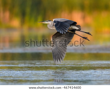 Great Blue Heron Flying in Early Morning Light