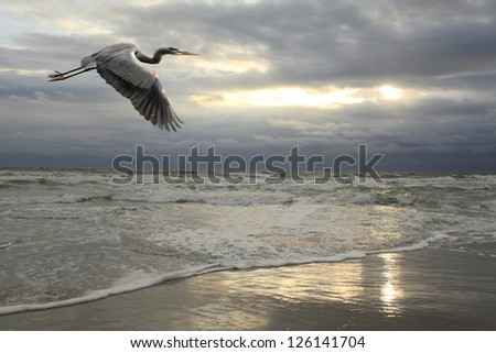 Great Blue Heron Flying Over the Beach with Approaching Storm - stock photo