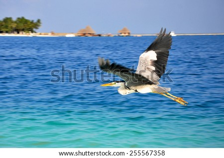 Great Blue Heron Flying Over the sea - stock photo