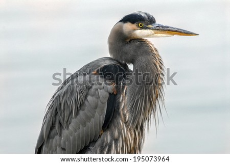 Great Blue Heron gazing over the Chesapeake Bay in Maryland - stock photo