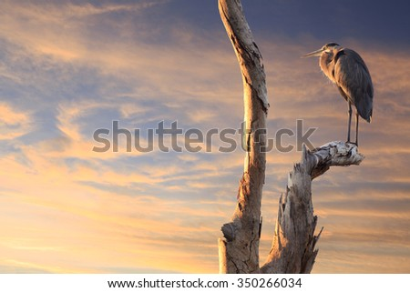 Great Blue Heron in a Dead Tree Watching the Sun Set - stock photo