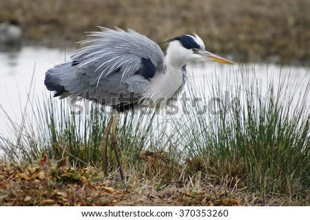 Great Blue Heron in Breeding Plumage,(Ardea cinerea) - stock photo