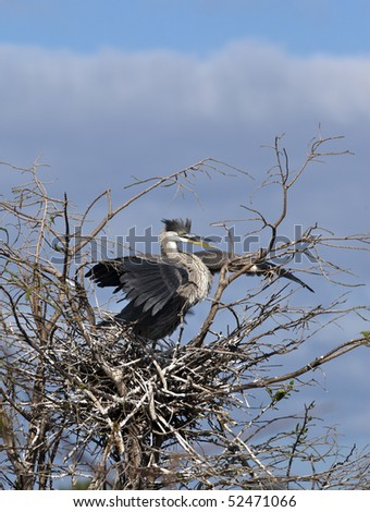 Great Blue Heron in early spring in Florida nesting in everglades, shot near Boca Raton