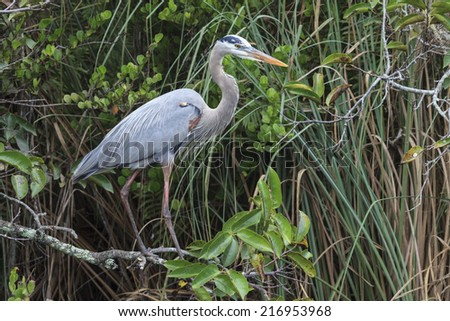Great Blue Heron in Everglades National Park, Florida, USA - stock photo