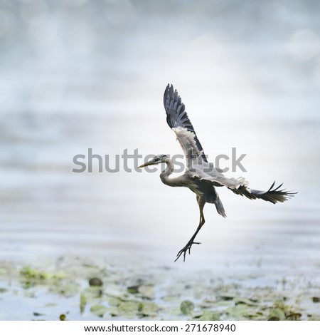 Great Blue Heron In Flight  - stock photo