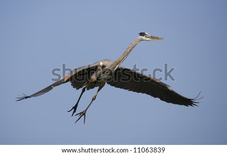 Great Blue Heron in-flight against a clear blue sky.