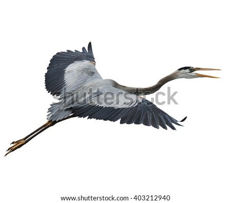 Great Blue Heron In Flight Isolated On White - stock photo
