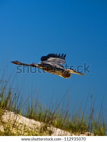 Great Blue Heron in Flight on Beach - stock photo