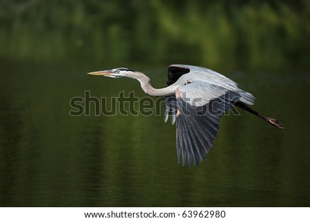 Great Blue Heron in flight over a pond in Venice, Florida. - stock photo