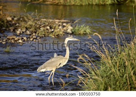 Great Blue Heron in Moose Jaw River - stock photo