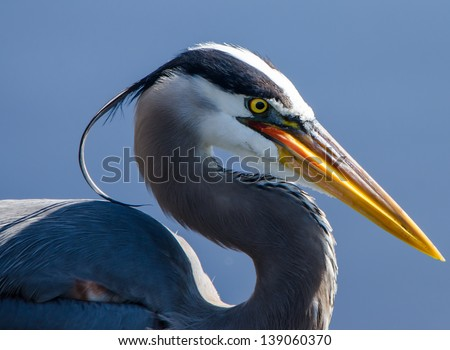 Great blue heron in profile - stock photo