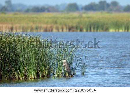 Great Blue Heron in Quivira National Wildlife Refuge in Kansas - stock photo