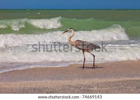 Great Blue Heron in Sanibel Island, Florida - stock photo