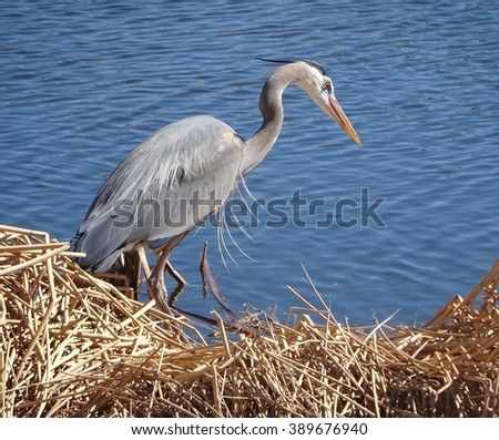 great blue heron in stalking mode  - stock photo
