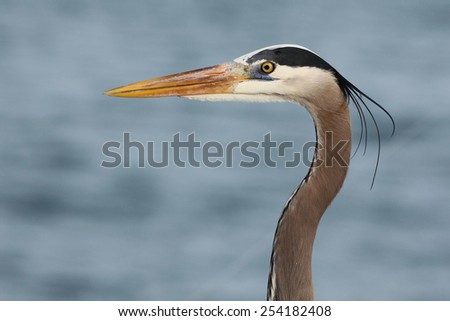 Great blue heron in the sea  - stock photo