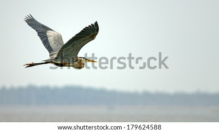 Great blue heron is flying top of the river  - stock photo