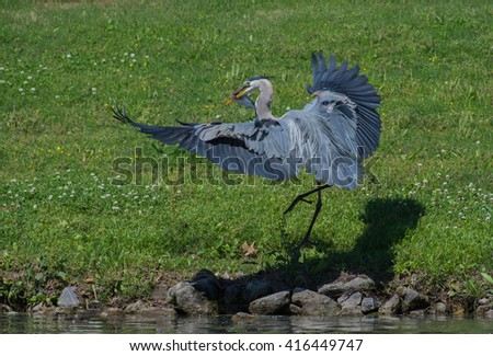Great Blue Heron landing with fish