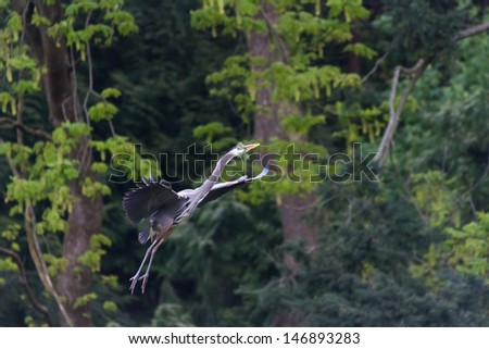 Great Blue Heron nesting on BC Canada