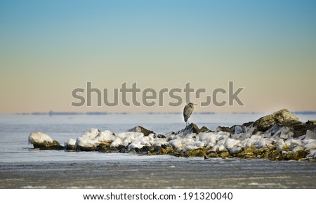 Great Blue Heron on a frozen Chesapeake Bay in winter - stock photo