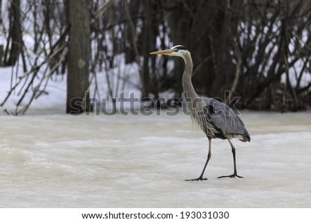 Great Blue Heron on icy lake - stock photo