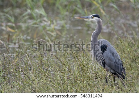 Great Blue Heron on Pintail Drive at Cameron Prairie Refuge in Southwestern Louisiana