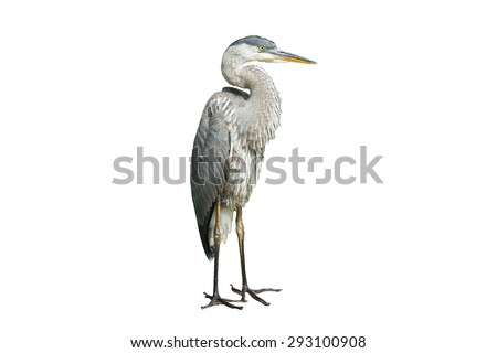 Great Blue Heron on White Background, Isolated - stock photo