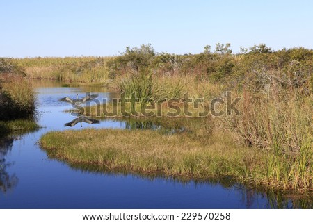 Great Blue Heron Reflected as He Takes Off In The Swampy Bayou - stock photo