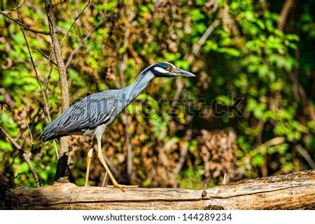 Great Blue Heron resting on a log at Ladybird Lake, Austin, Texas. - stock photo