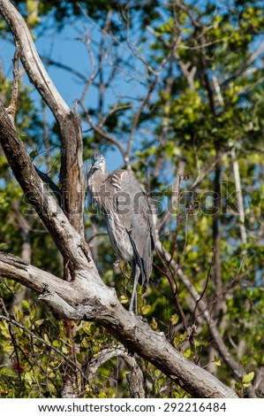 Great Blue Heron sitting in a tree on a cool fall afternoon - stock photo