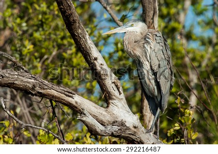 Great Blue Heron sitting in a tree on a cool, fall afternoon