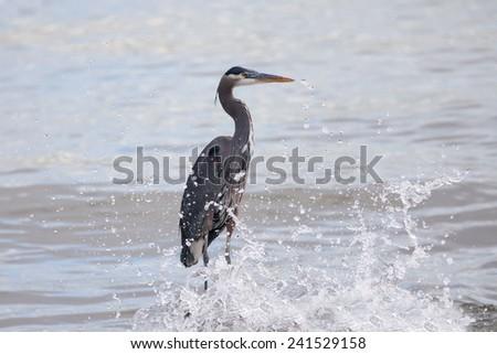 Great blue heron standing amid splashing waves - stock photo
