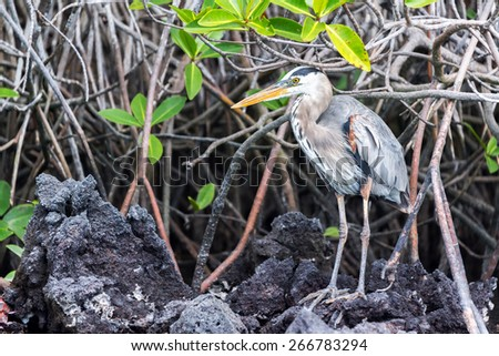 Great Blue Heron standing among a mangrove on Isabela Island in the Galapagos Islands - stock photo