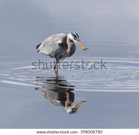 Great blue heron standing in water with fish - stock photo