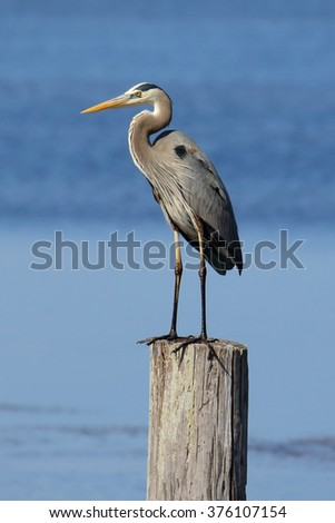 Great Blue Heron standing on a post in the ocean - stock photo
