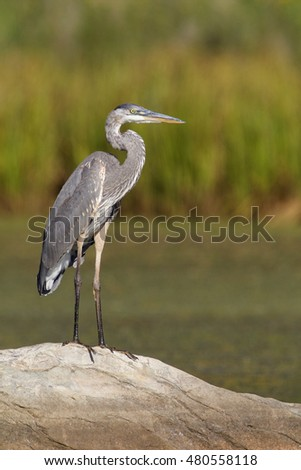 Great Blue Heron standing on a rock with beautiful natural texture in a wetland in the Rocky Mountains of Montana near Yellowstone National Park