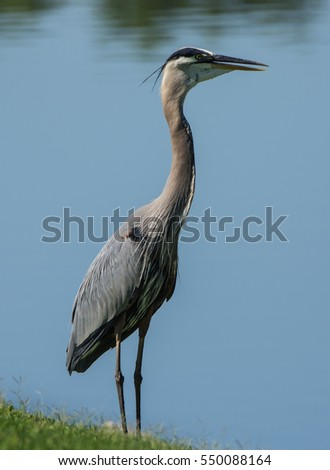 Great Blue Heron standing on bank