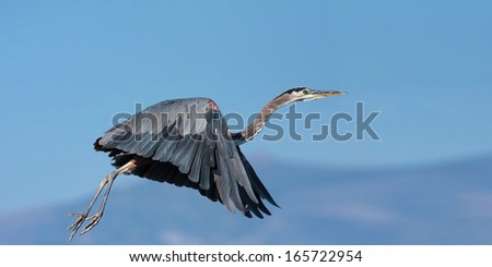 Great Blue Heron taking off in flight. - stock photo