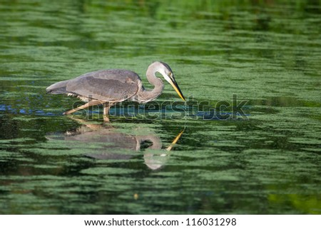 Great Blue Heron wades in a lake Fishing. - stock photo