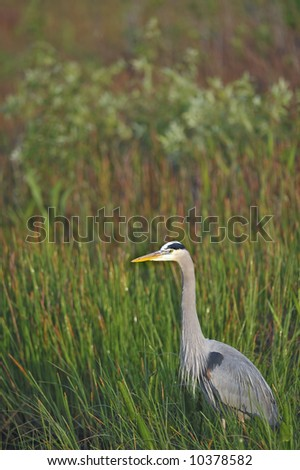 great blue heron wades in marsh of everglades national park - stock photo
