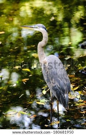 Great Blue Heron wading in a creek. - stock photo