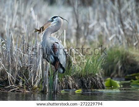 Great Blue Heron with a bluegill - stock photo