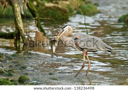 Great Blue Heron With Fish - stock photo