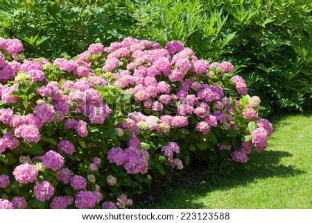 great  bush of pink flower hydrangea blooming in the garden - stock photo