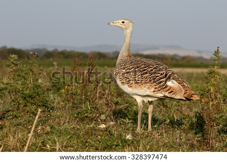 Great bustard, Otis tarda, single bird, Wiltshire, October 2015